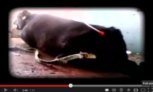 Israeli Vet Likens Kosher Slaughterhouse Investigation to Animals' Treblinka