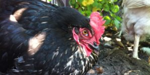 Danita: The Gentle Yet Assertive Alpha Hen