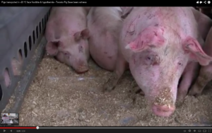 Video: A Vigil to Honor Pigs Trapped in the Farming System