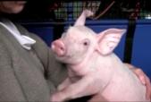 Pig Vision