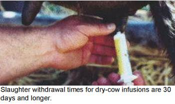 mastitis dairy cows