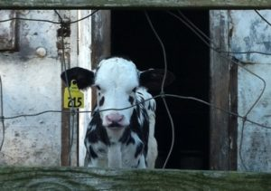 alternative to factory farming dairy calf in confined hutch