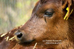 calf photo