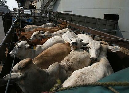 Irish cattle live export