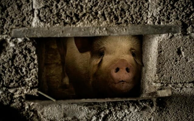 This photo was taken by Francesco Scipioni of a pig who was raised in a family's backyard for several months to then be slaughtered for a holiday meal in 2012