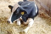lilly the dairy cow