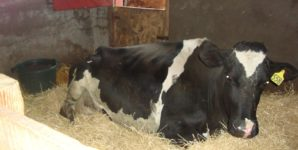 Rayann: As Good as It Gets for Dairy Cows