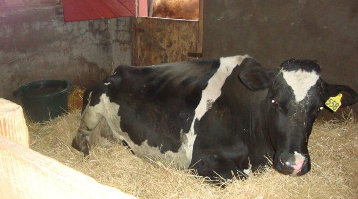 Rannan the dairy cow