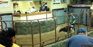 Portrait of a Dairy Cow Auction House