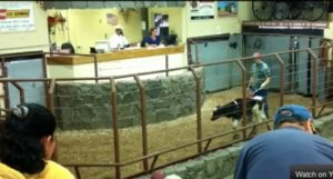 Portrait of a Dairy Cow Auction House