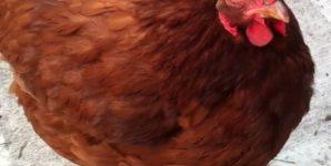 Beyond Eggs: Why I Keep Backyard Chickens