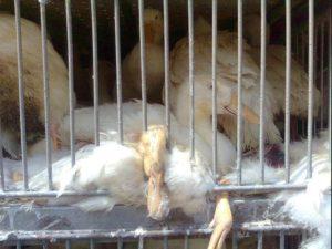 caged ducks on transport truck