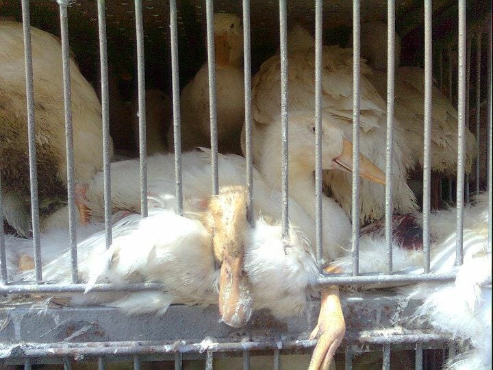 caged ducks on transport truck
