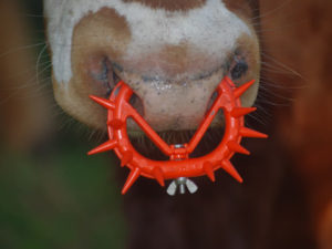 The Spiked Nose Ring: A Symbol for All Dairy Cruelty