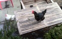 No Morality = No Rights? The Case of Danita the Chicken