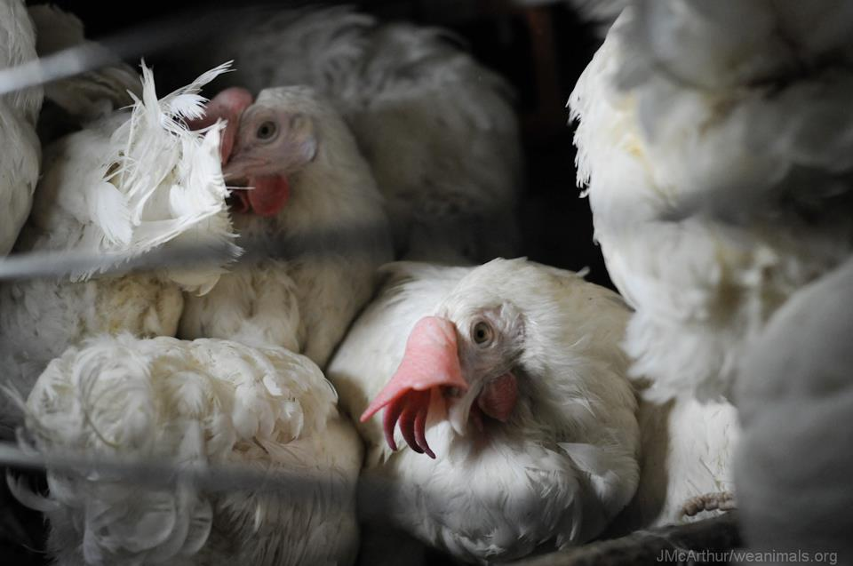 Chickens crammed in enriched cages in the EU. Photo: Jo-Anne McArthur