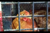 the red hen at the chicago live poultry market