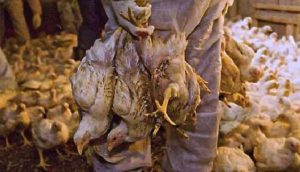 Eliminating the Suffering of Chickens Bred for Meat