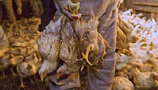 animal abuse chicken Shocking animal abuse uncovered at country's second largest chicken producer may 30, 2017 supreme court rejects challenge to california's landmark egg sales law.