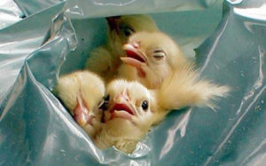 male chicks garbage bags