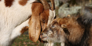 A Universal Declaration on Animal Sentience: No Pretending