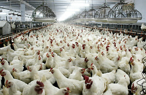 broiler_breeding_flock