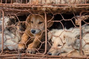 The Spell of Culture: If Chicken Meat Why Not Dog Meat?