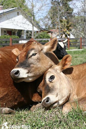 marji_beach_douglas_linus_cows