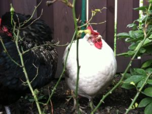 Sweet Pea: The Life of an Egg Laying Chicken