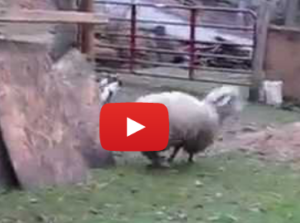 The Sheep Who Jumps for Joy: On the Will to Live in All Animals