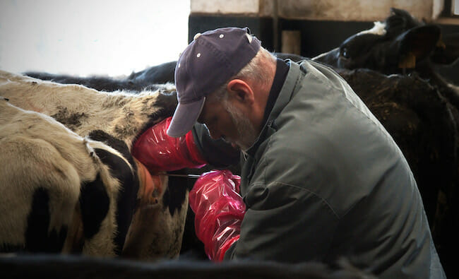 Artificial insemination of dairy cow. Photo: wikimedia commons.