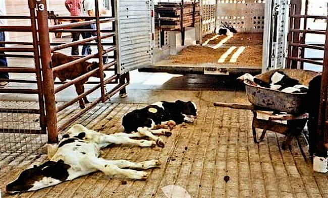 downer-veal-calves