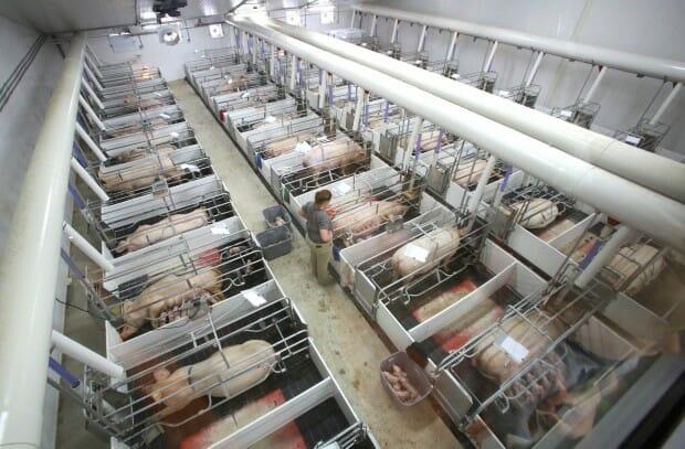 """Fair Oaks Farm """"Pig Adventure"""" teaches children about factory farming. photo: John Luke, The Times"""