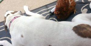 A Female Chicken Befriends a Male Pitbull