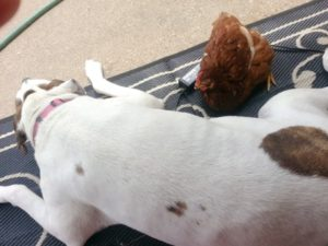 A Female Chicken Befriends a Male Pitbull