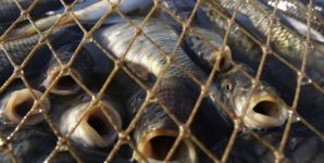 Why Fish Can No Longer Escape Our Conscience