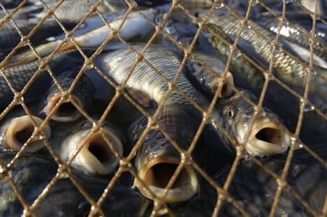 fish caught in nets