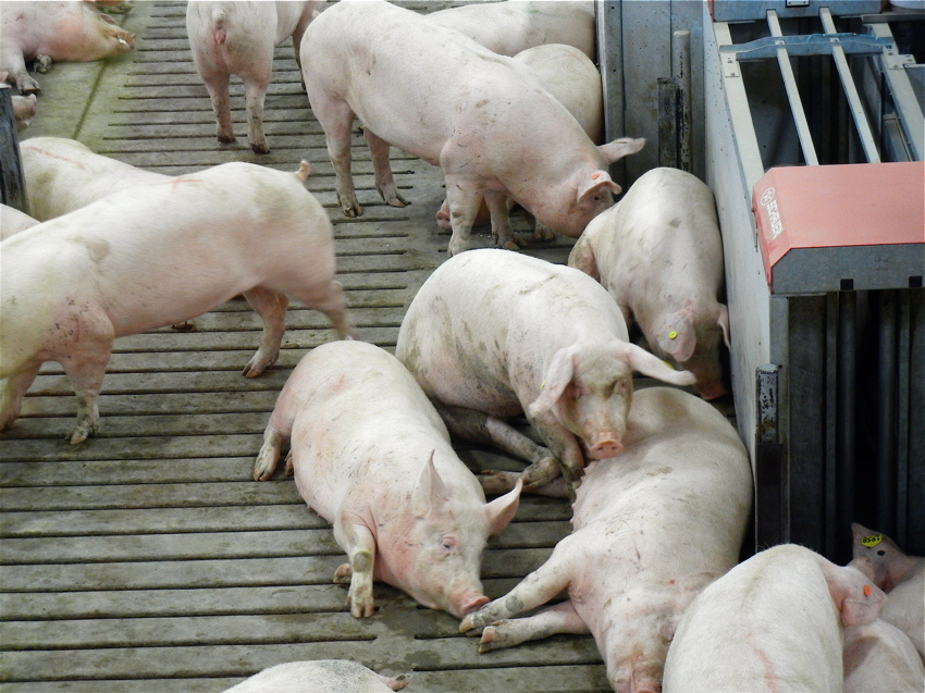 """All pigs are given a safe and temperature controlled environment with no exposure to harsh outdoor elements or predators."" Descriptions of Pig Adventure are always worded to make it seem as if confinement and environmental deprivation are all in the interest of the animals' comfort and well being."