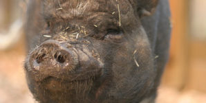 Are Pigs as Smart as Dogs and Does It Really Matter?