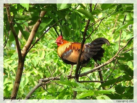 Red jungle fowl Photo: Goldy RS