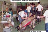 sheep artificial insemination