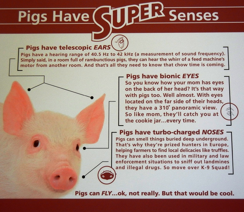 "pig and intelligence pigs ""what is known suggests that pigs are cognitively complex and share many traits  with animals whom we consider intelligent,"" they write in the."
