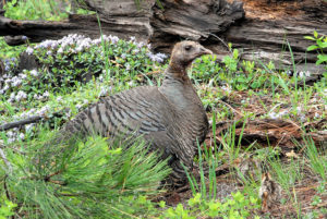 Condemning the USDA's Decision to Slaughter Wild Turkeys