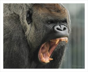 gorilla canine teeth