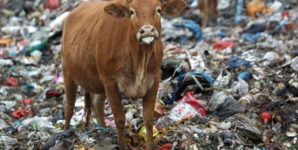Cows on a Pasture of Solid Waste
