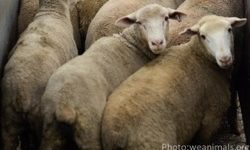 You Would Never Choose the Life of Sheep