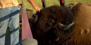 Where the Buffalo Roam (and Have Their Throats Slashed for Profit)