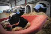 dairy calves removed at birth