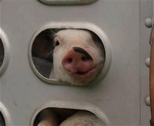 government shutdown (piglet)