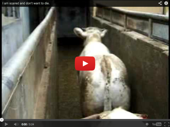 Saddest Slaughterhouse Footage Ever Shows No Blood Or Slaughter